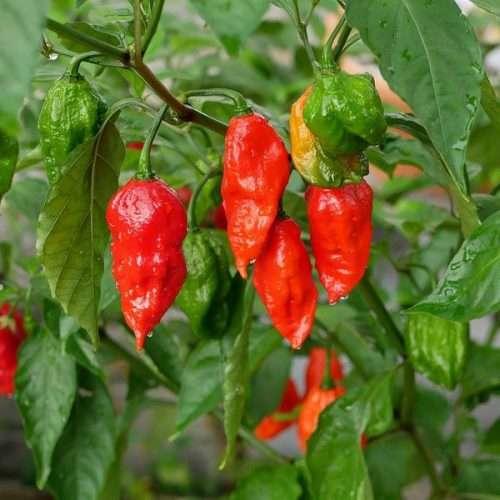 Unique Chili Peppers